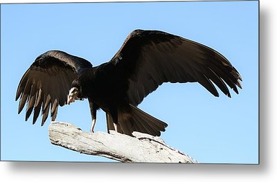 Lesser Yellow Headed Vulture Metal Print by Paulette Thomas