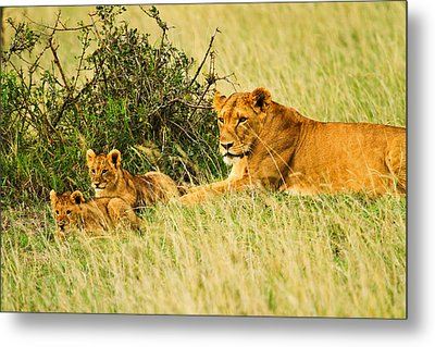 Lion Family Metal Print by Kongsak Sumano