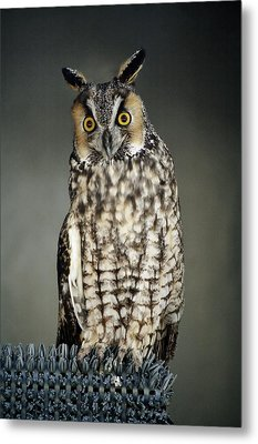 Long-eared Owl Metal Print by Paulette Thomas