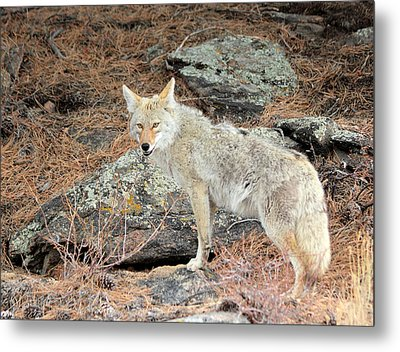 On The Prowl Metal Print by Shane Bechler