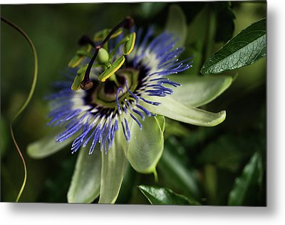 Passion Flower  Passiflora  Blooms Metal Print by Robert L. Potts