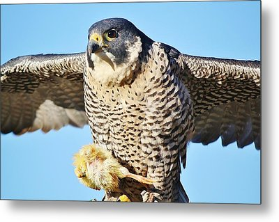 Peregrine Falcon With Chicken For Dinner Metal Print by Paulette Thomas