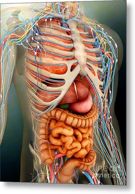 Perspective View Of Human Body, Whole Metal Print by Stocktrek Images