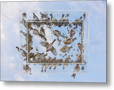 Redpols And Blue Skies Metal Print by Tim Grams