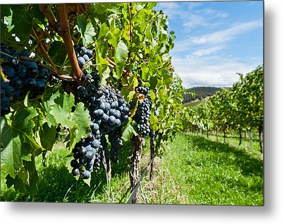 Ripe Grapes Right Before Harvest In The Summer Sun Metal Print by Ulrich Schade