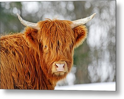 Scottish Highland Cow Metal Print by Michael Allen