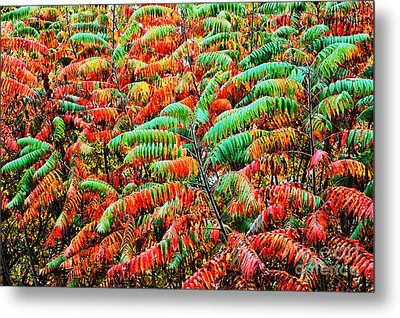 Smooth Sumac Fall Color Metal Print by Thomas R Fletcher
