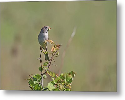 Sparrow Metal Print by Jim Nelson