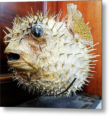 Stuffed Porcupinefish Metal Print by Ucl, Grant Museum Of Zoology