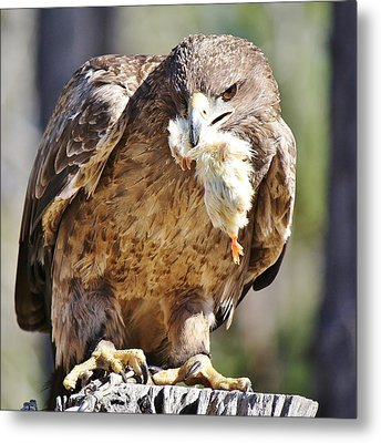 Tawny Eagle With Chicken Dinner Metal Print by Paulette Thomas