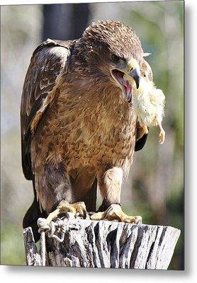 Tawny Eagle With His Prey Metal Print by Paulette Thomas