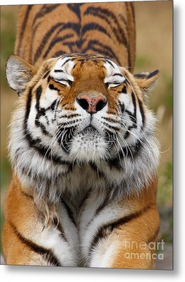 The Beautiful Siberian Tiger Metal Print by Boon Mee