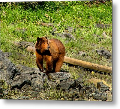 The Grizzly Metal Print by Robert Bales
