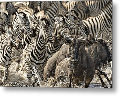 The Zebra Rush Metal Print by Paul W Sharpe Aka Wizard of Wonders