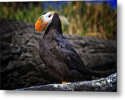 Tufted Puffin Metal Print by Mark Kiver