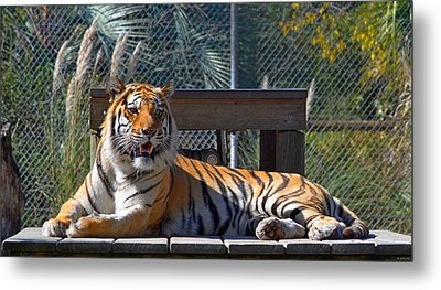 Zootography3 Tiger In The Sun Metal Print by Jeff at JSJ Photography