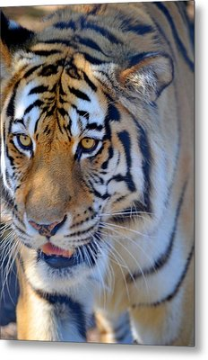 Zootography3 Tiger Prowl Close-up Metal Print by Jeff at JSJ Photography