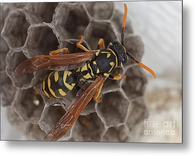 Common Wasp Metal Print by Ted Kinsman