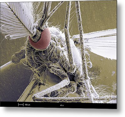 Male Mosquito Metal Print by Ted Kinsman