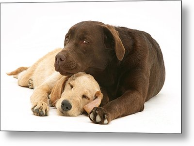 Labradoodle And Labrador Retriever Metal Print by Jane Burton