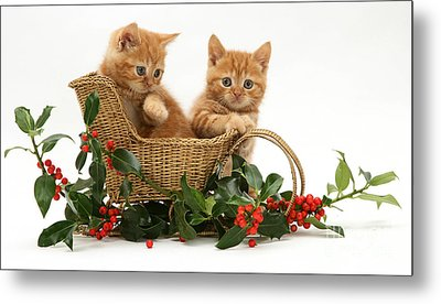 Kittens With A Sledge Metal Print by Jane Burton
