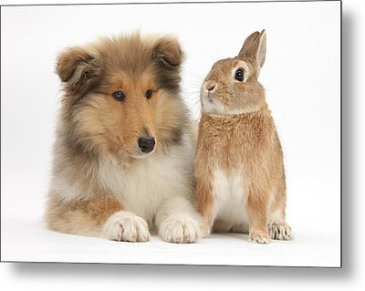 Rough Collie Pup With Rabbit Metal Print by Mark Taylor