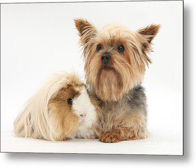 Yorkshire Terrier And Guinea Pig Metal Print by Mark Taylor