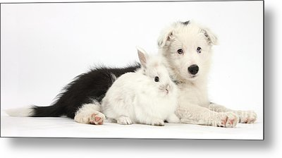 Border Collie Puppy With Baby Rabbit Metal Print by Mark Taylor