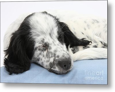 Border Collie X Cocker Sleeping Puppy Metal Print by Mark Taylor