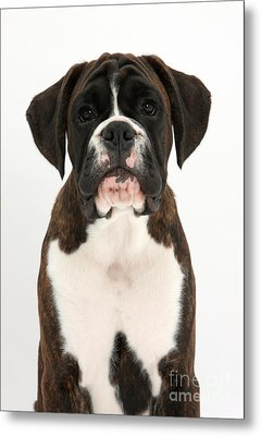 Boxer Pup Metal Print by Mark Taylor