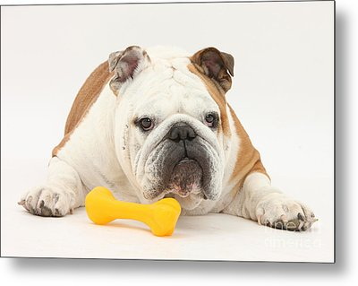 Bulldog With Plastic Chew Toy Metal Print by Mark Taylor