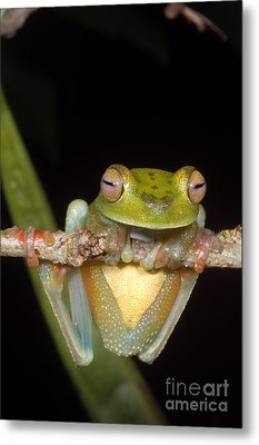 Canal Zone Tree Frog Metal Print by Dante Fenolio