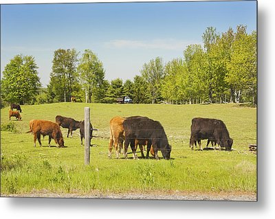Cows Grazing On Grass In Maine Farm Field Spring Metal Print by Keith Webber Jr