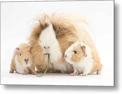 Mother Guinea Pig And Baby Guinea Metal Print by Mark Taylor