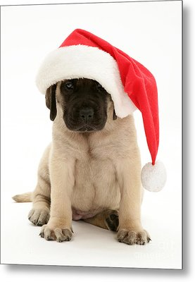 Puppy In A Santa Hat Metal Print by Jane Burton