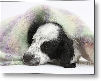 Puppy Sleeping Under Scarf Metal Print by Mark Taylor