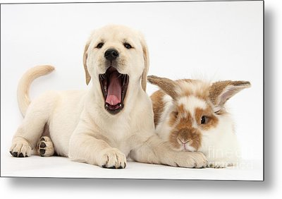 Yellow Lab Puppy With Rabbit Metal Print by Mark Taylor