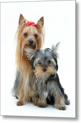 Yorkshire Terriers Metal Print by Jane Burton