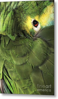 Bluefronted Amazon Parrot Metal Print by Neil Overy
