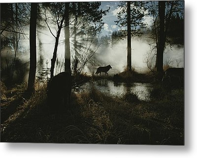 A Gray Wolf, Canis Lupus, In Silhouette Metal Print by Jim And Jamie Dutcher
