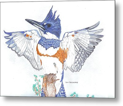 Belted Kingfisher Metal Print by Don  Gallacher
