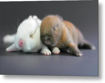 11 Day Old Bunnies Metal Print by Copyright Crezalyn Nerona Uratsuji