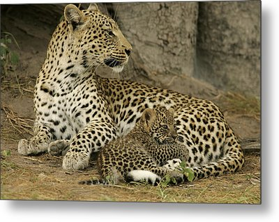 A Leopard Cub With Her Mother Metal Print by Beverly Joubert