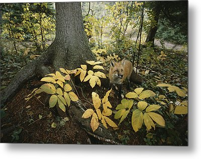 A Red Fox On Isle Royale In Lake Metal Print by Annie Griffiths