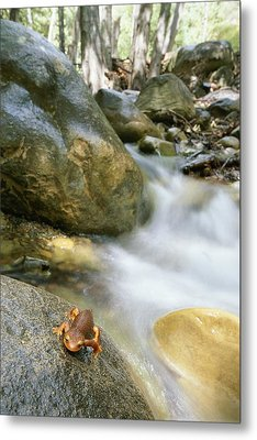 A Rough-skinned Newt Sits On A Rock Metal Print by Rich Reid