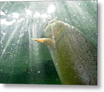 A Snake River Fine Spotted Cutthroat Metal Print by Drew Rush