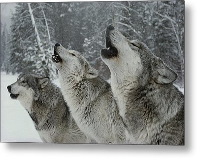 A Trio Of Gray Wolves, Canis Lupus Metal Print by Jim And Jamie Dutcher