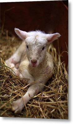 Behold The Lamb Metal Print by Linda Mishler