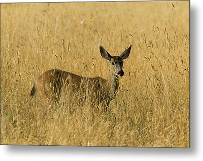 Blacktail Deer In Tall Grass Metal Print by Randall Ingalls