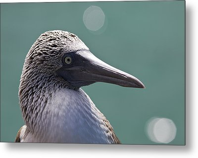 Blue Footed Booby II Metal Print by Dave Fleetham